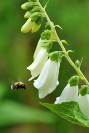 The signs of high summer... bumble bee and foxglove...