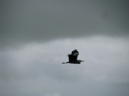 #19 - ...heron doing the 'Catalina Flying Boat' pose for the camera...