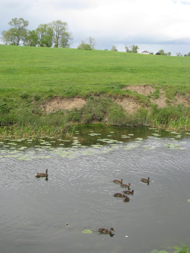 Last but not least... mother duck and the 7 dwarfs... ;-) ... note the bits of bread!