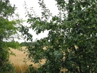 ... wild apples and barley... more summer. Imagine the resultant brews!