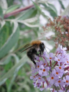 More macro mode... let's just say this one's for GSA... maybe he'll also appreciate bumblebees some day!
