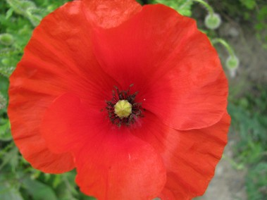 Macro mode... a splash of colour at the station... the field poppies add much needed summer colour.