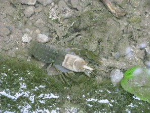 A White-clawed Crayfish in the pool beneath to waterfall... the slight blurry effect caused due to the crayfish being submerged...