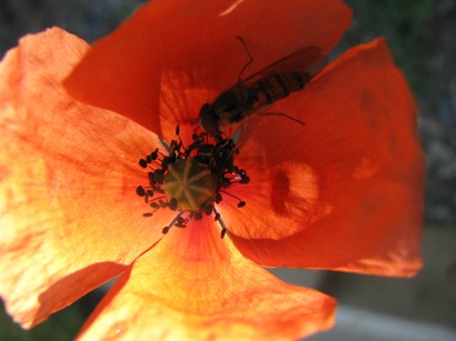 Morning Macro - A real Monday macro... this little fellow stopped me in my tracks... the sun catching half the poppy. was great momentary relief on a crazy morning! ;-)
