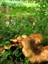 Large fungi on the canal bank... are they edible?