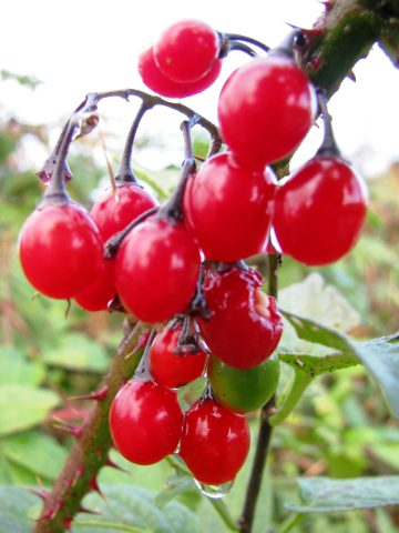 Berries in the bramble... why not?