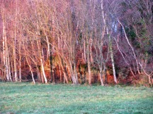 Eerie winter light lights up the white stems of the birches... a bit surreal...