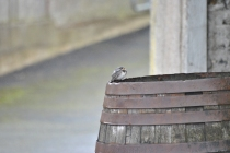 Bird on a barrel... too wet to fly?