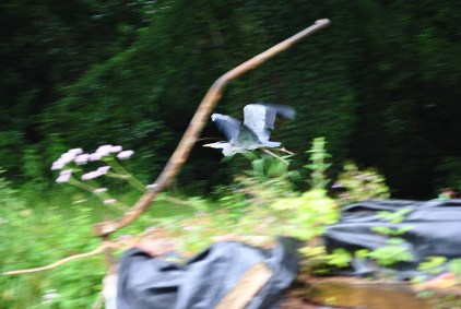 I was late spotting the heron... resulting in the blurred reaction... I enjoy the image... bird and tiller