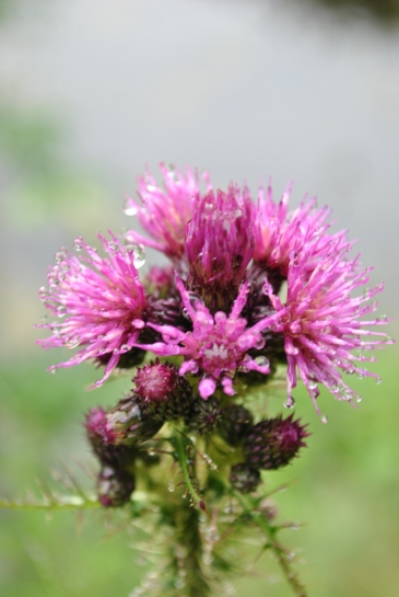 Watered thistles?
