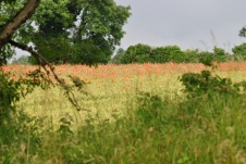 ... then... even a bit of colour out in the fields... field poppies brighten even the dullest day.