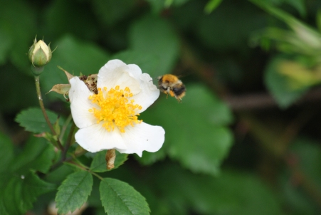 What would a post of mine be without the ubiquitous bumblebee? Sorry!! I must say... I've tried long and hard to capture the flying bee and flower...