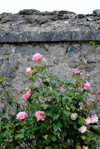 Rose against the wall of the old lock keeper's cottage...
