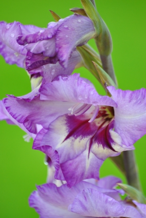 Gladioli! Naturalised Saffers in the old world... makes me feel almost at home... ;-)