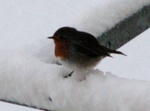 Robin in the snow.. Christmas 2010