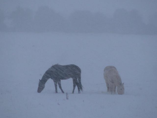 Horses in the snow... is there anything below that stuff to eat?