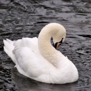 Swan one sprucing up...
