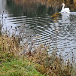 The heron and the swan...