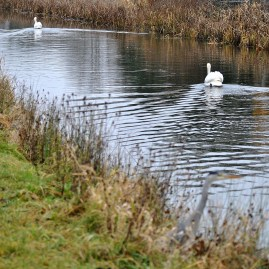 The heron and two swans...
