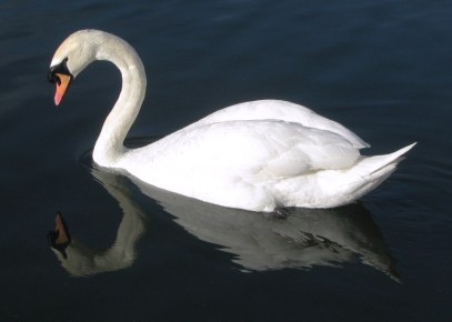 Swan on the Grand Canal