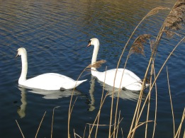 Fed 25 swans on the Grand Canal... my first long walk along this stretch of water...