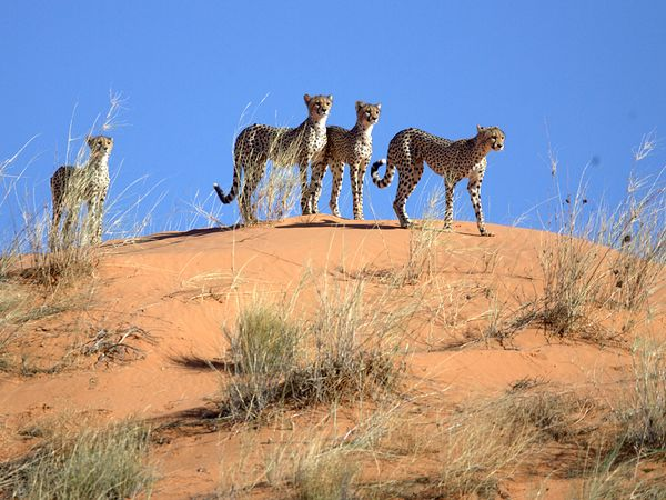 cheetah-mother-cubs-dune_48293_600x450