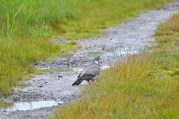 Who walks these roads? Wet pigeon feet... that''s who!