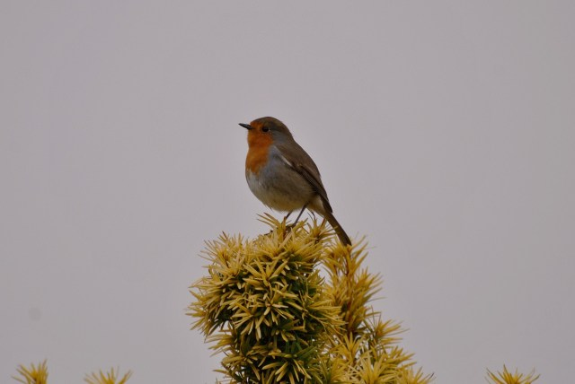 Mr Robin atop the bush... against a grey Irish sky...