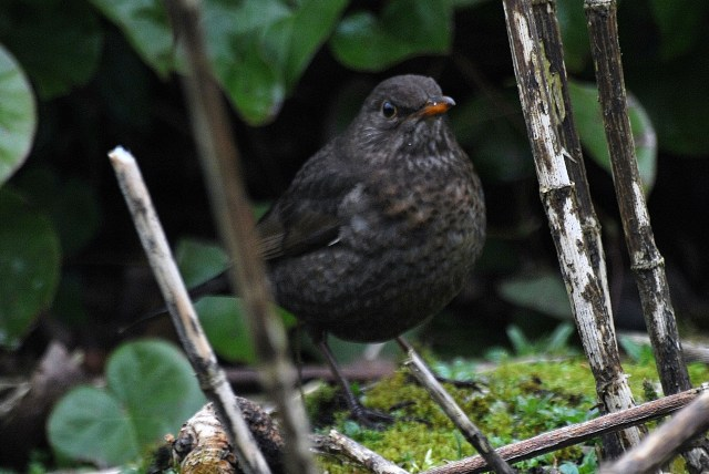 Mrs Blackbird gives me the hairy eyeball...
