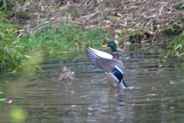 Mr Mallard shows if she can do it he can do it even better!!
