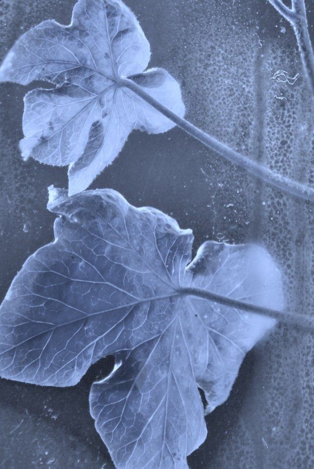Sunlight, condensation and ivy... B&W style...