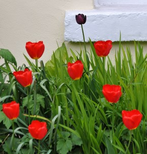Tulips for friends... yes!