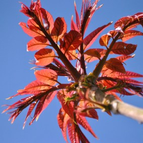 Red spring leaves against a blue sky... just after the hail shower passed...