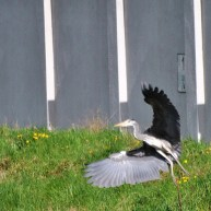 See the heron throwing shapes... wouldn you if your bit of canal was invaded by some rather large ladies?