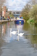 Swans leading 4E into the 1st Lock..