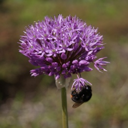 Bumblebee on allium...