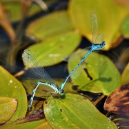 Damselfly foreplay... or should that be forehead play? ;-)