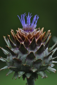 Prickly purple... deceptive or what? Thistle in the guise of an artichoke or should that be artichoke in the guise of a thistle?
