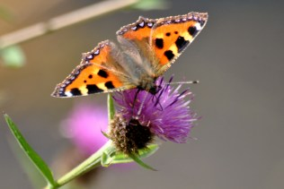 Small Tortoiseshell on thistle...