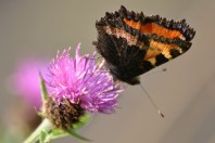 Small Tortoiseshell on thistle... underside