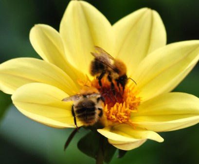 Do bees play? (Sorry, my excuse for showing in a flower...)