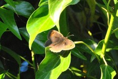 Meadow Brown basking in the sun