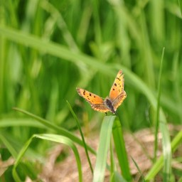 Small Copper resting...