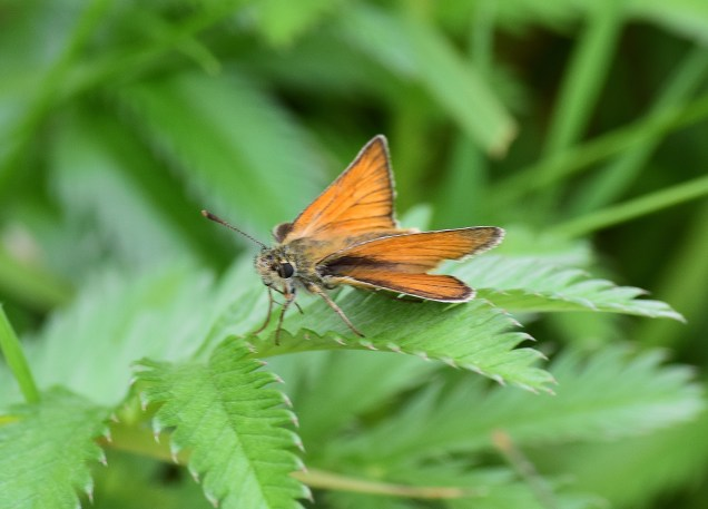 Small Skipper... a new(ish) resident in Ireland