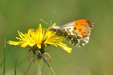Orange Tip... contrasting colours!