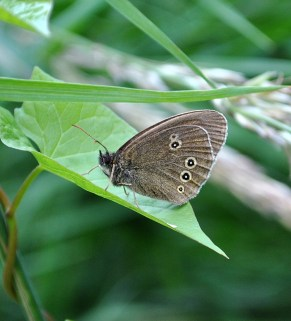 27 055 - Ringlet along the Royal Canal