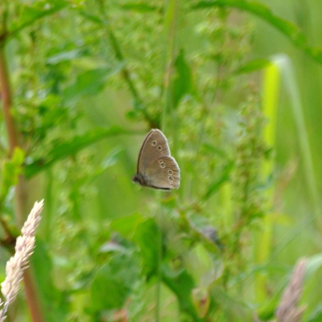 A fluke shot... actually capturing the Ringlet on the wing!