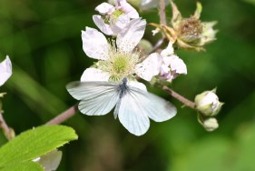 Cryptic Wood White with wings open... apparently a rare sighting!