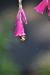 Bumblebee entering the LZ... contact knocking water droplets off?
