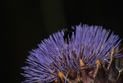 Night moves... messy flash macros, bumblebee on thistle...